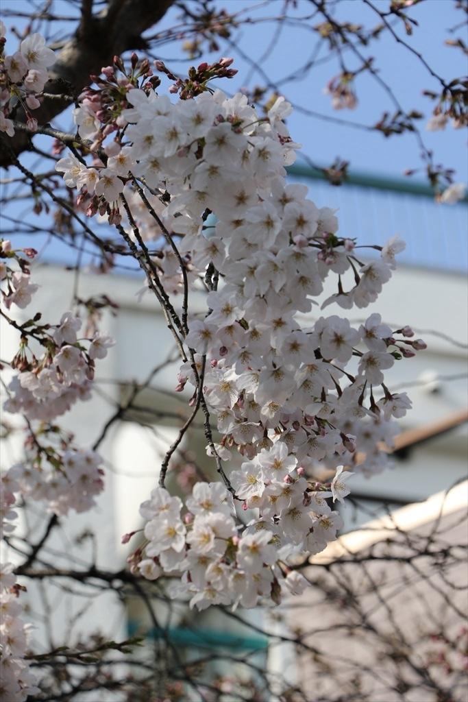 昨30日昼過ぎの桜_4