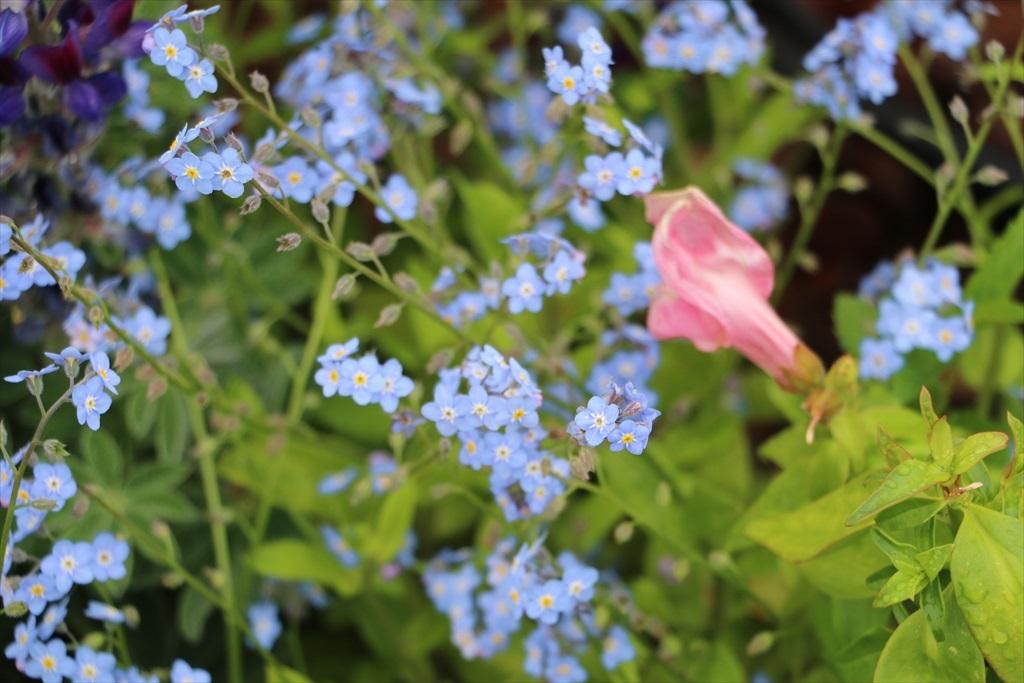 山下公園_花壇の花_17