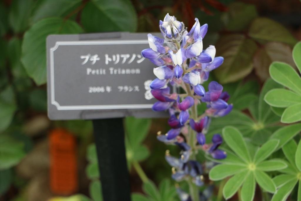 山下公園_花壇の花_19