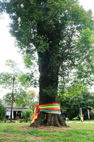 Ta-Kien tree (4)