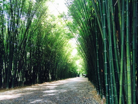 Thai bamboo forest (4)