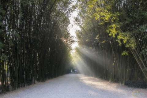 Thai bamboo forest (3)