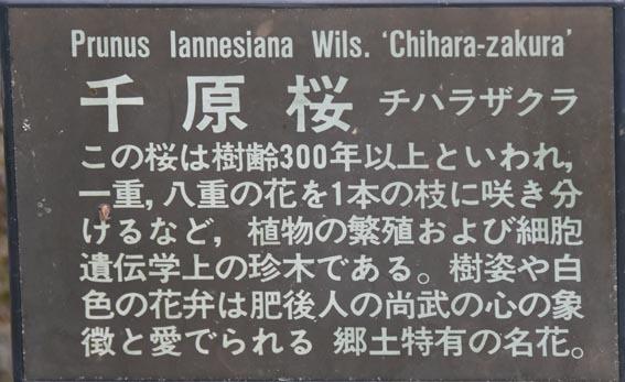 tiharazakura_20170405_DSG_9825.jpg