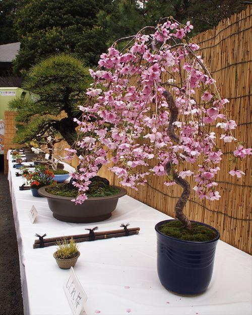 ゆうブログケロブログお花見と花まつり (8)