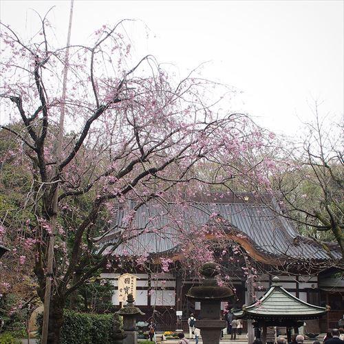 ゆうブログケロブログお花見と花まつり (9)