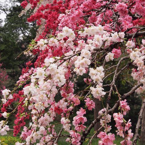 ゆうブログケロブログお花見と花まつり (12)