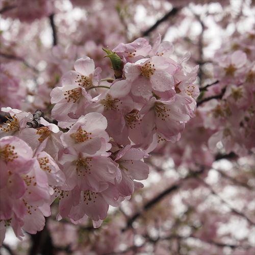 ゆうブログケロブログお花見と花まつり (17)