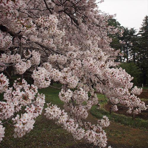 ゆうブログケロブログお花見と花まつり (22)