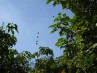 ミツバチの通り道を巧妙に狙って巣をかける蜘蛛
