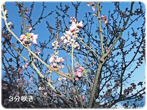 花桃3分咲き