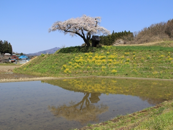 2017ozawanosakura2-web600.jpg