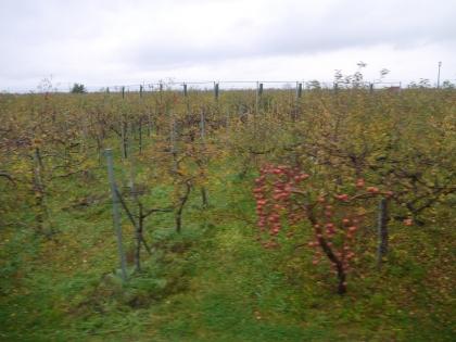 リンゴ畑(1)