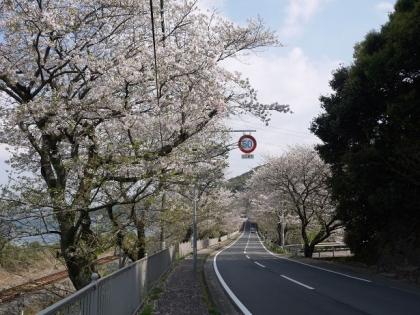 桜道(1)