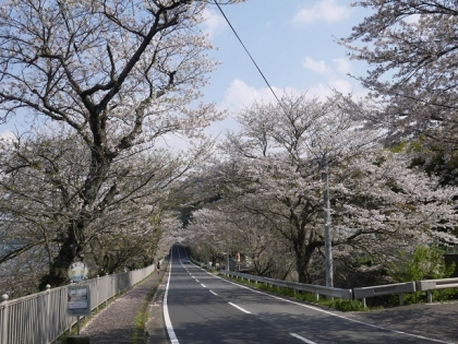 桜道(2)