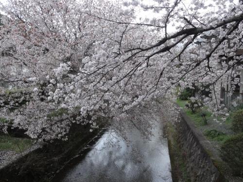 2017年4月9日桜2