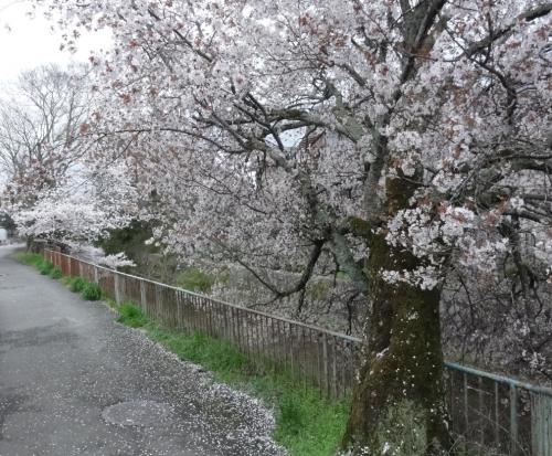 2017年4月9日桜3