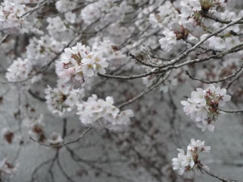 2017年4月9日桜4