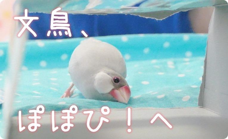 文鳥、ぽぽぴ!へ