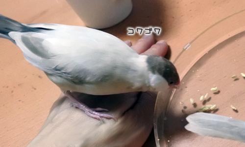 文鳥色々、食べ方も色々_2