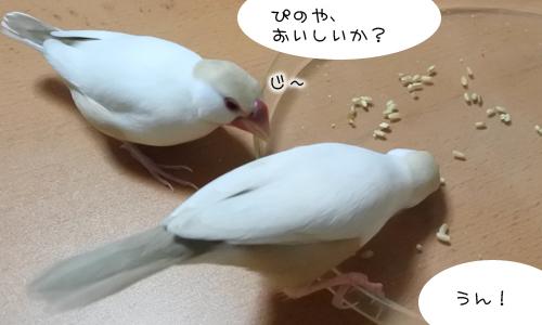 文鳥色々、食べ方も色々_6
