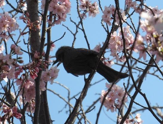 4B04 寒桜とひよどり? 0322