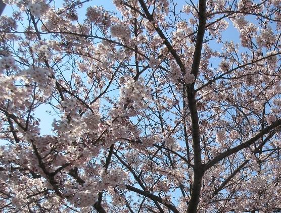 1A01 満開の桜 0404