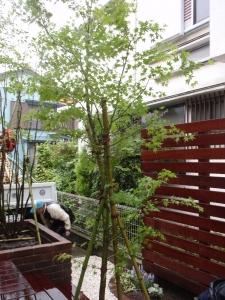 シンボルツリー モミジ :エクステリア横浜(神奈川県・東京都の外構工事専門店)