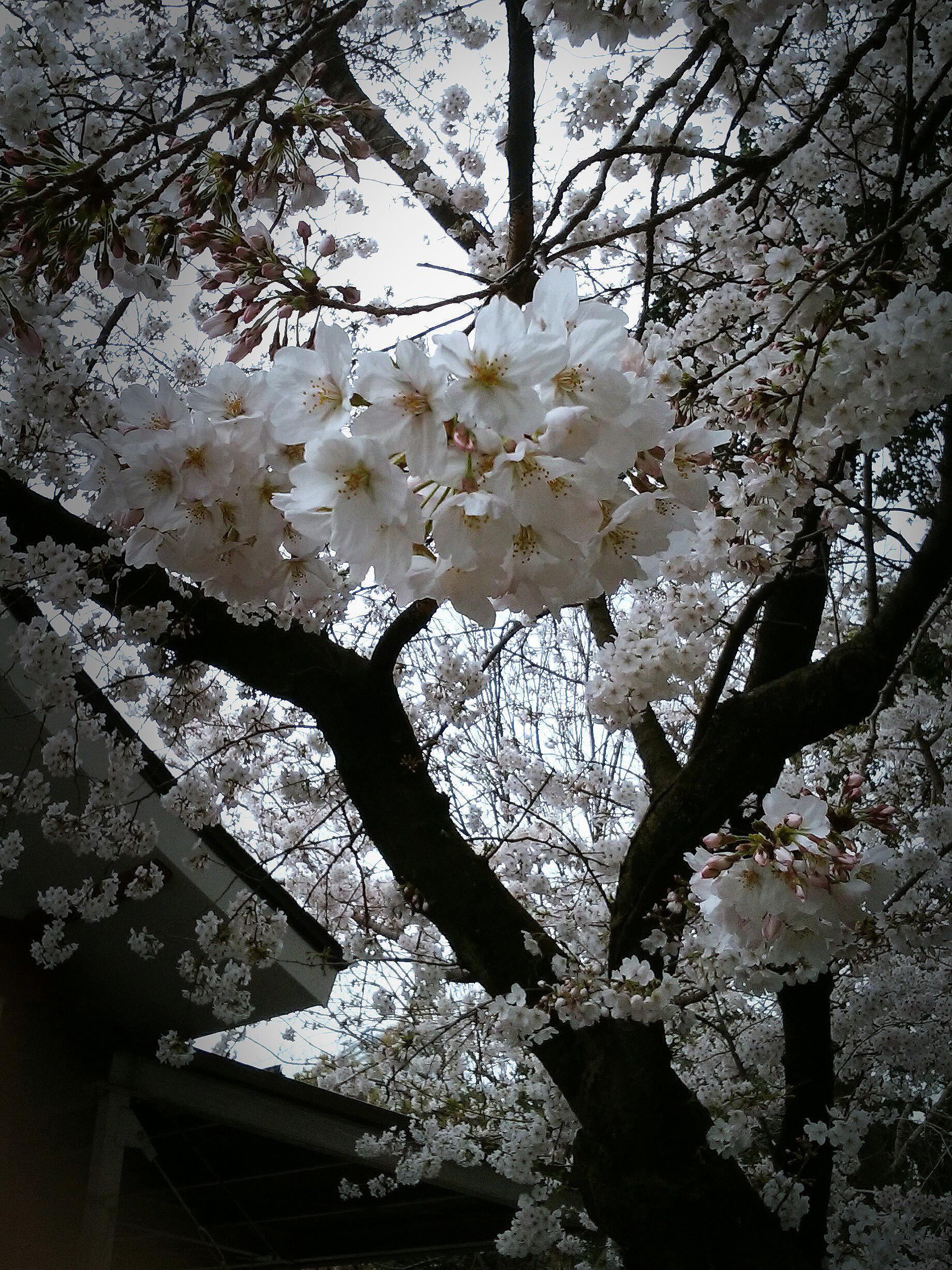2017gifusakura.jpg