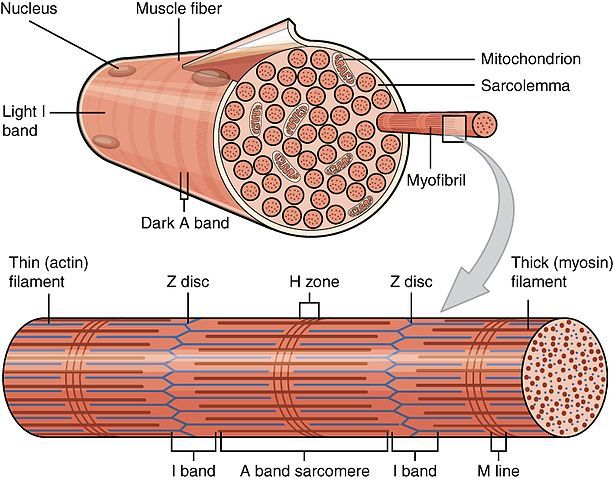 1002_Organization_of_Muscle_Fiber.jpg