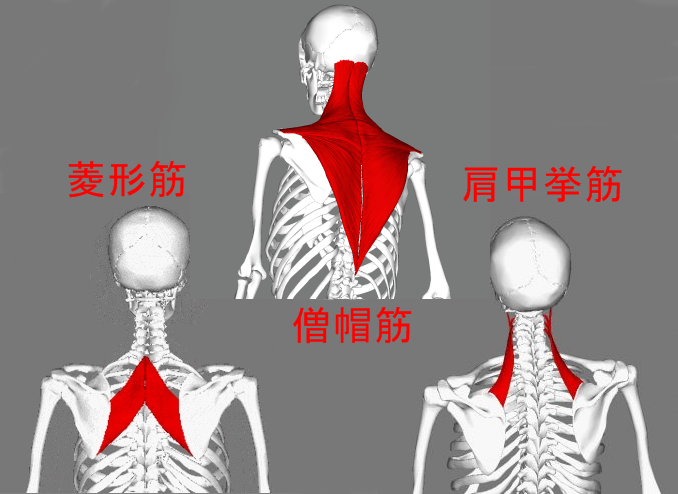 Trapezius_lateral4-300x300mix.png