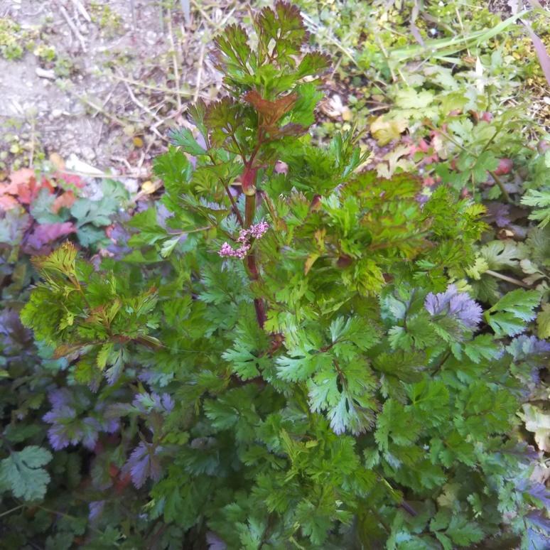 coriander201703082.jpg