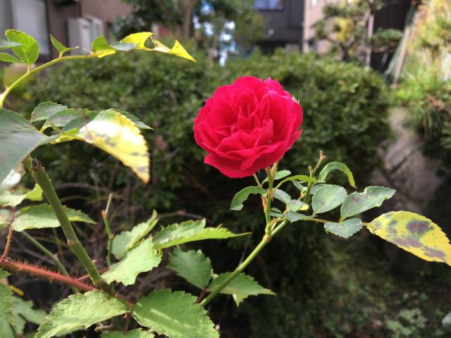 20181115庭のバラ1