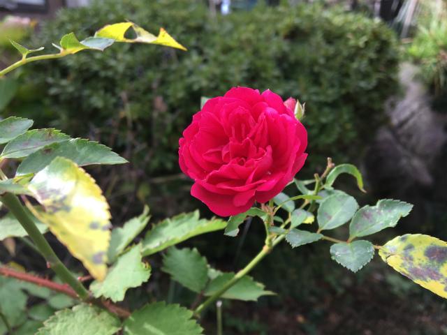 20181115庭のバラ2