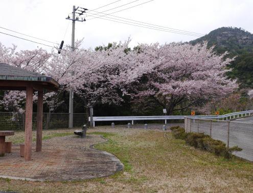 sakurakaidou_04150067.jpg