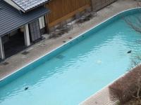 プールにカモが