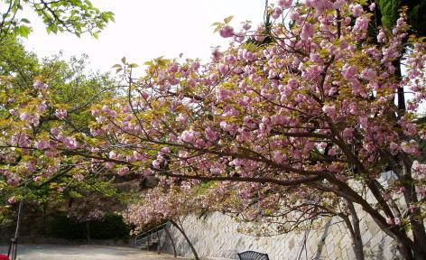 sakuramaturi-yosino-sakura9.jpg