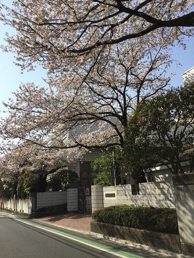 桜に愛された