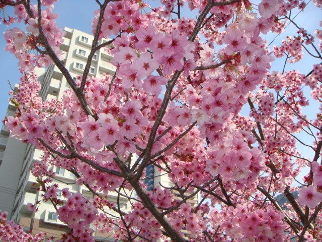 産土神社桜1