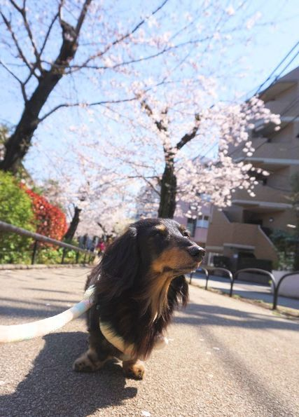 桜の緑道 (4)