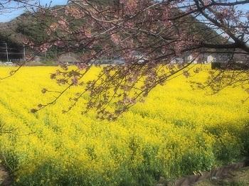 うちのこ記念旅行菜の花畑20170307-2