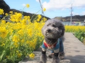 うちのこ記念旅行菜の花畑20170307-3