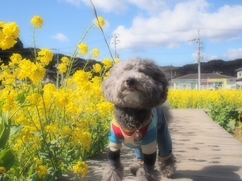 うちのこ記念旅行菜の花畑20170307-4