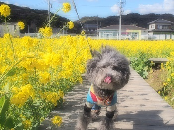 うちのこ記念旅行菜の花畑20170307-5