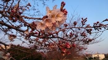 きょうの桜20170329