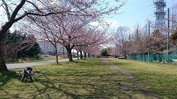 きょうの桜20170403