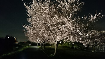 きょうの桜20170407