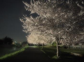 夜桜さんぽ20170410-5