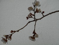 ①プチサクランボの花