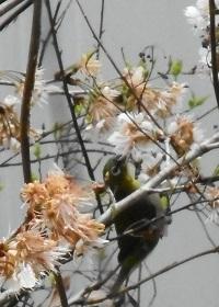 ①メジロと桜の花 2017年3月14日