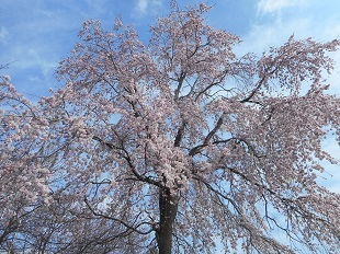 ②ふるさと館 枝垂桜